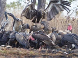 Cambodia's Vulture restaurants